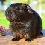 guinea-pig-518266_640